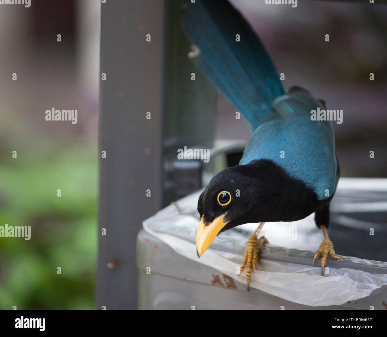 Yucatan jay (Cyanocorax yucatanicus) perched on garbage can. - Stock Image