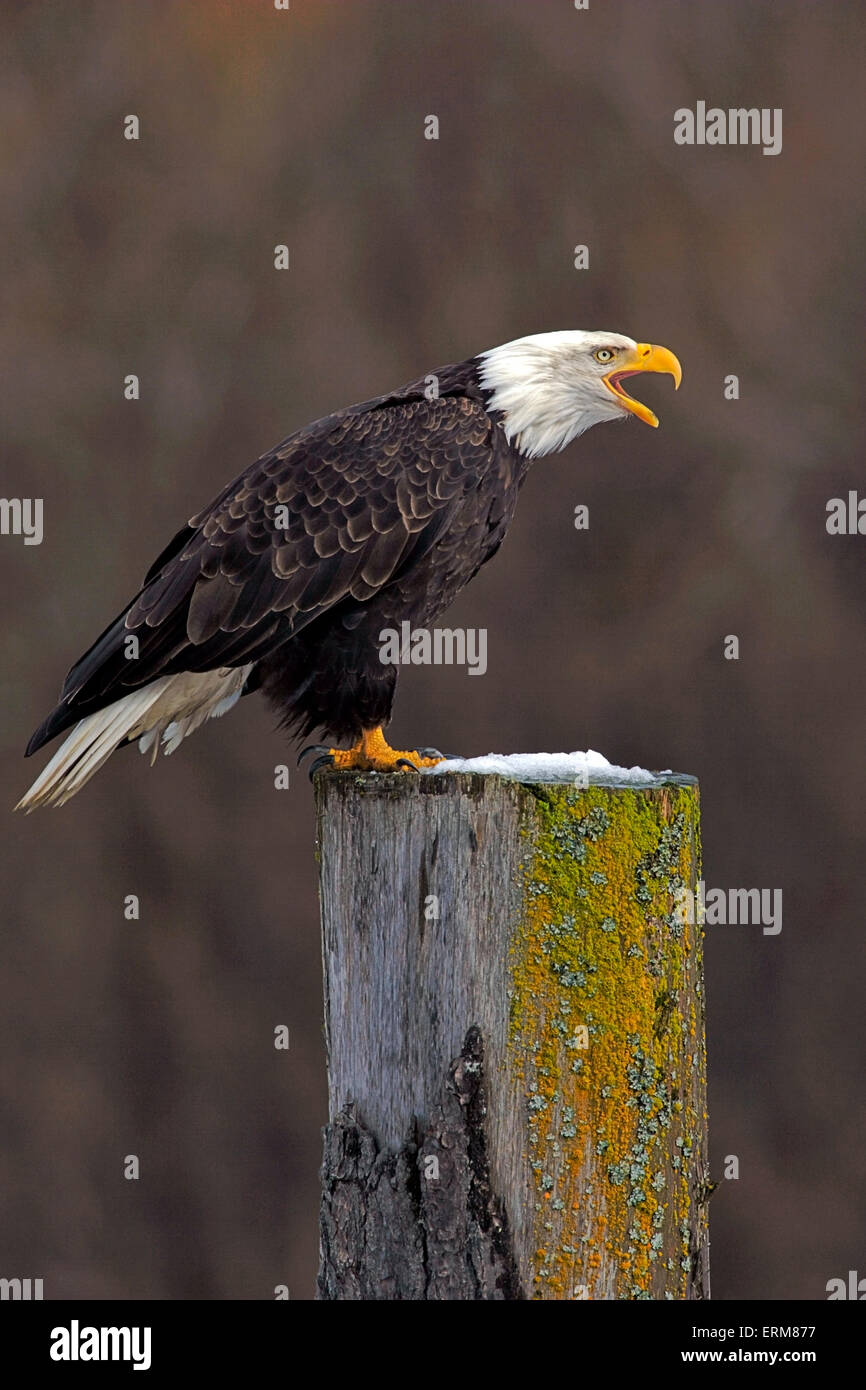 Mature Bald Eagle perched on tree stump, calling - Stock Image