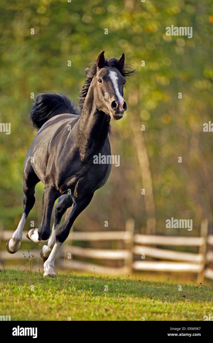 Black Arabian Stallion  galloping at pasture - Stock Image