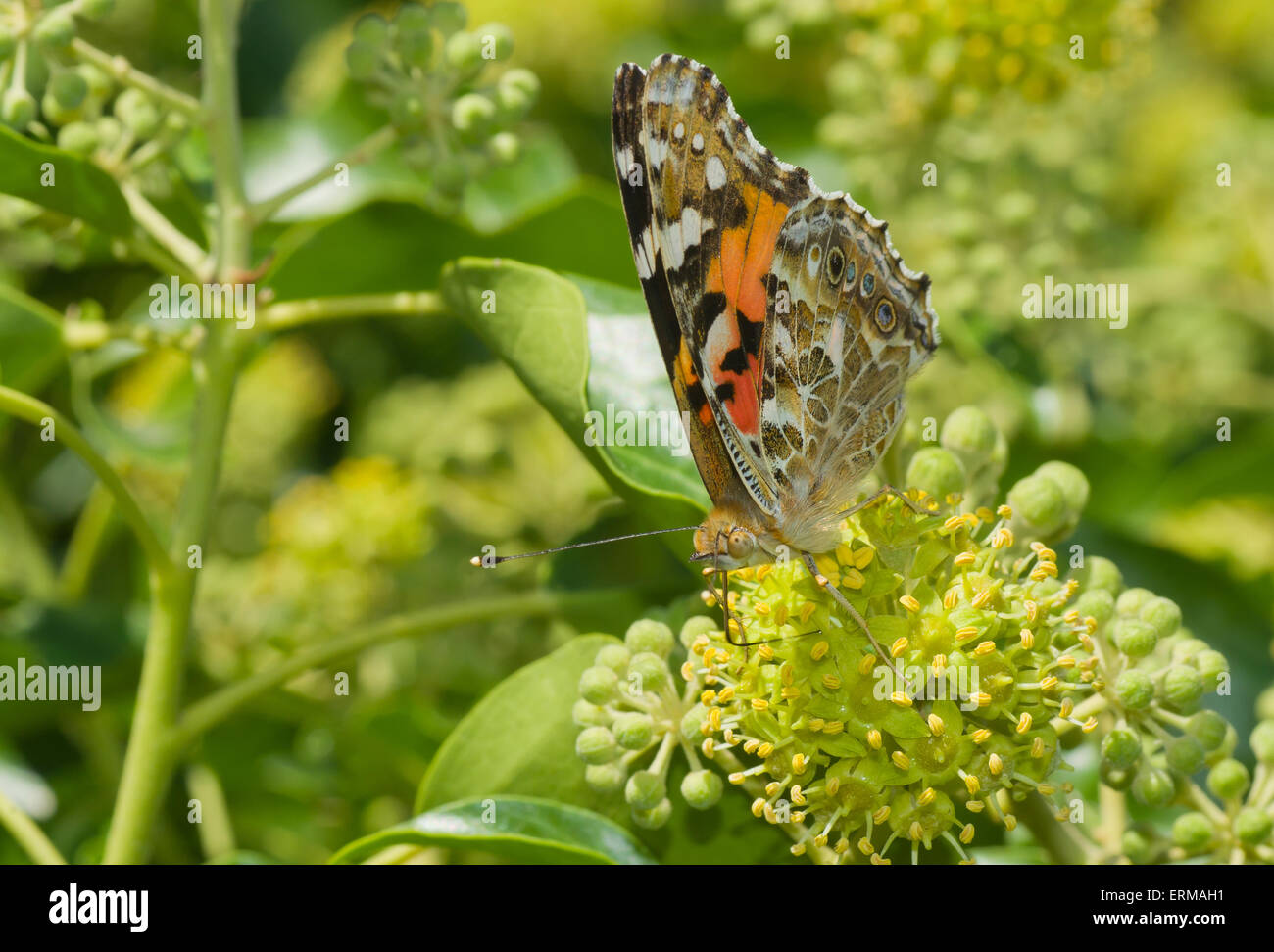 Butterfly sucking nectar from an autumnal flower. - Stock Image