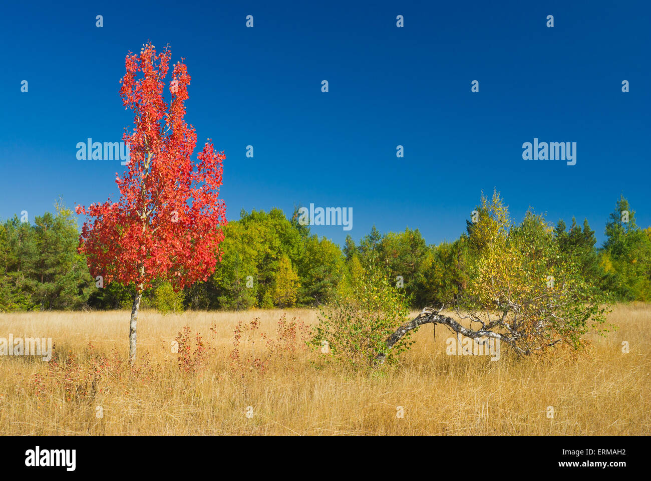 Birch family in the autumnal field - Stock Image