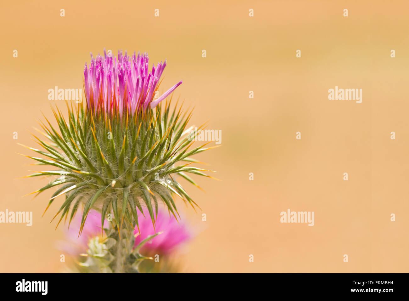 Purple thistle on sand background - Stock Image