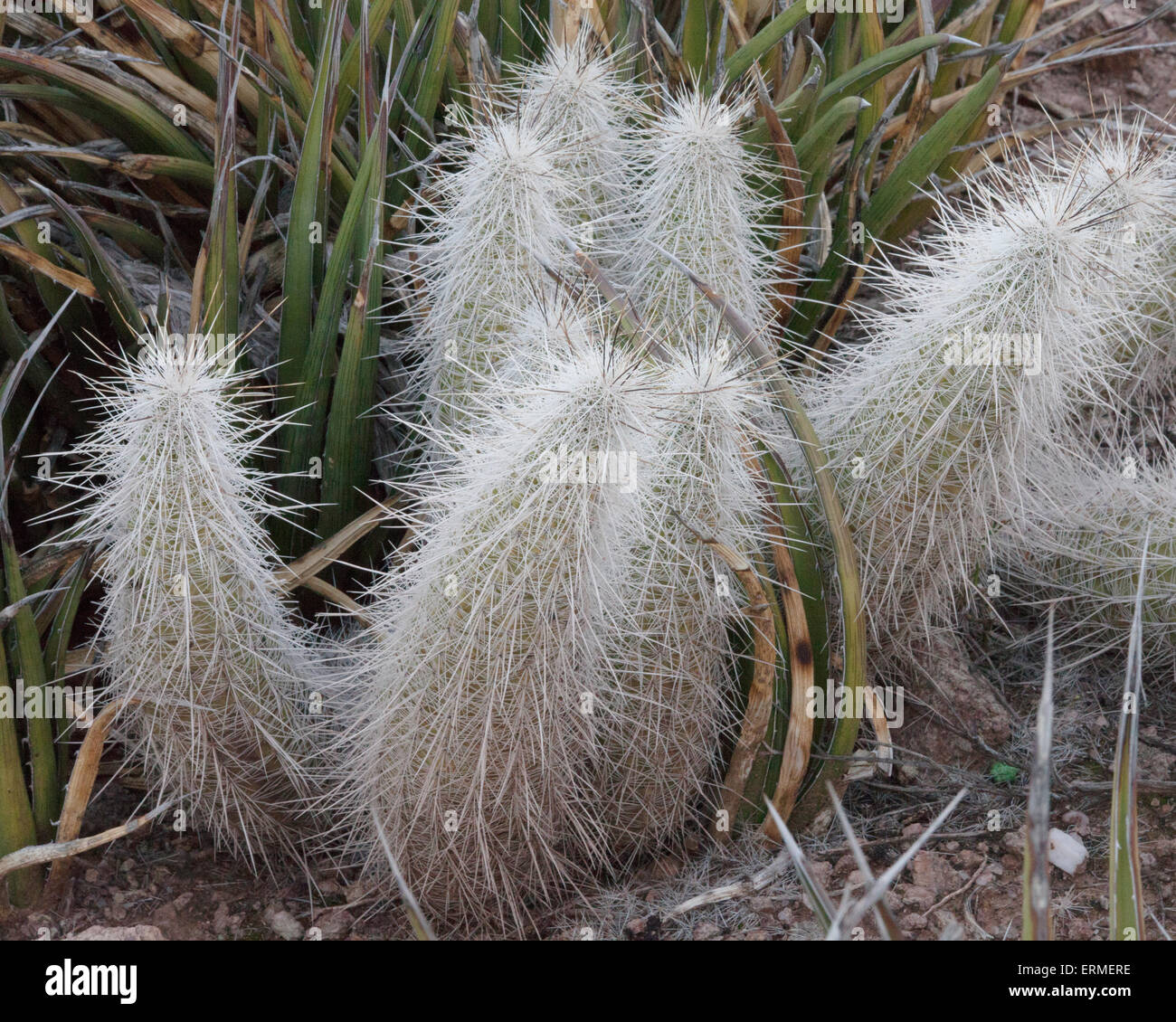 Long Spines Cactus - Stock Image