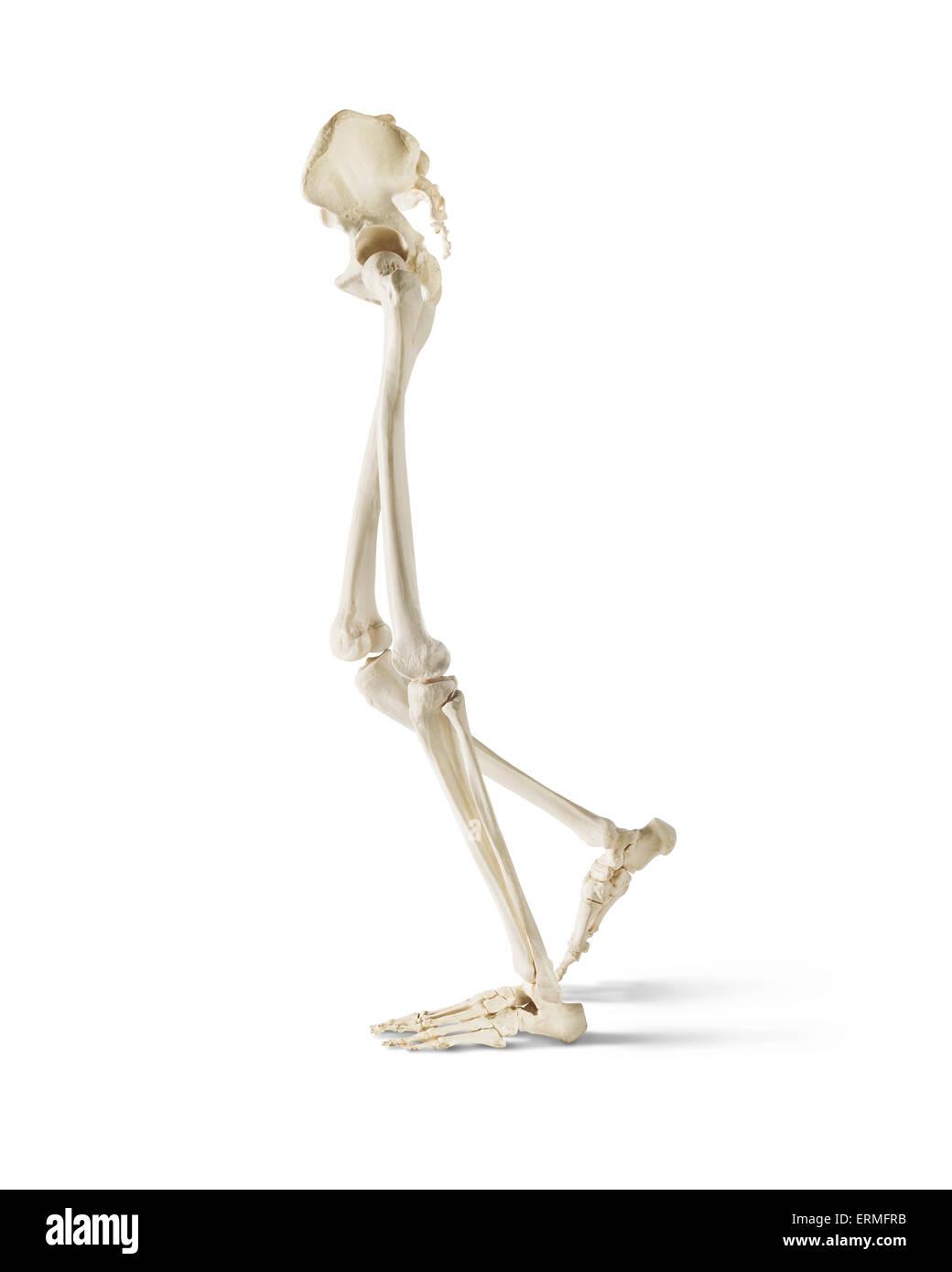 Leg And Hip Bones Walking On A White Background Stock Photo