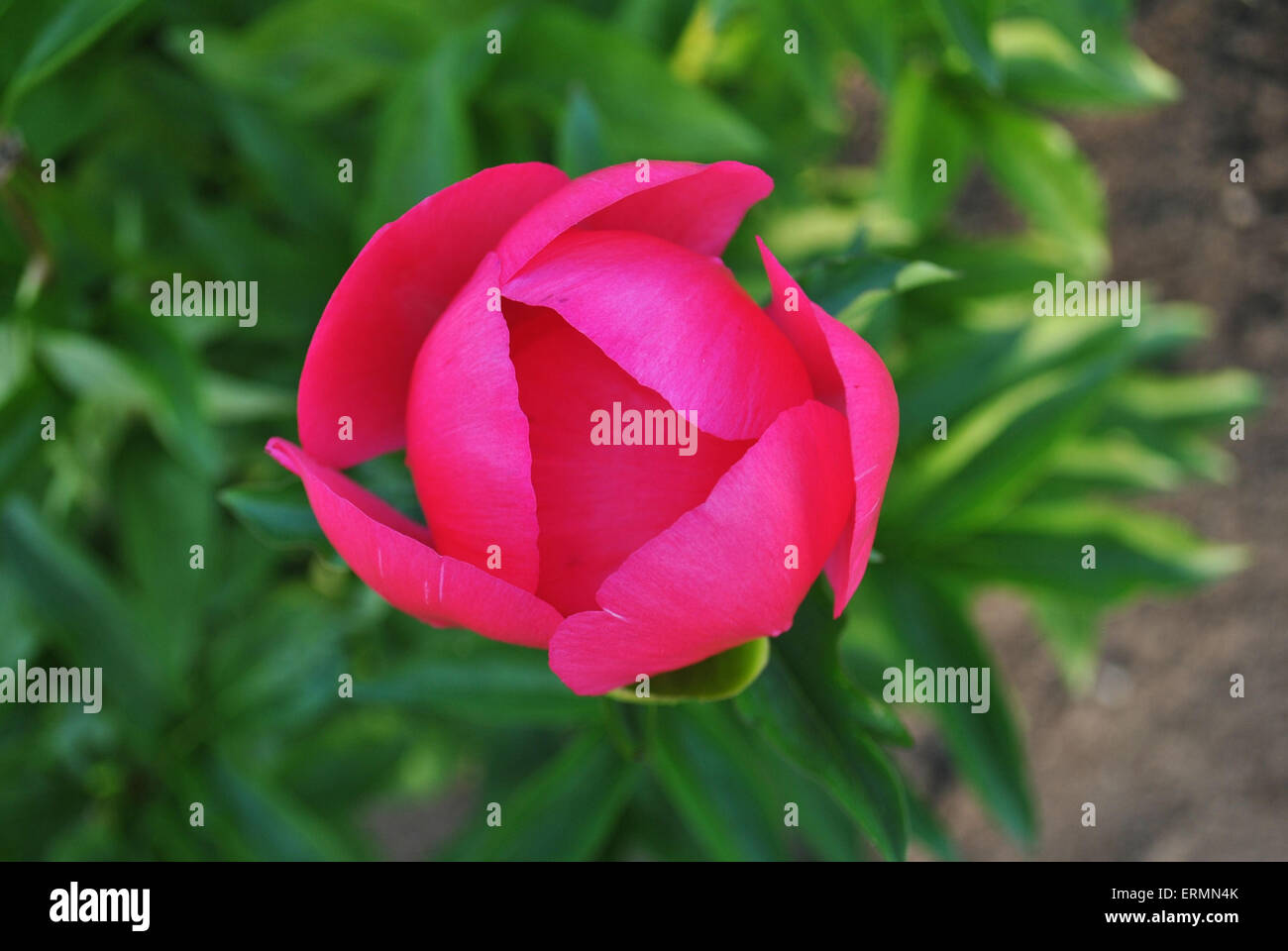 bright pink magenta peonie - Stock Image