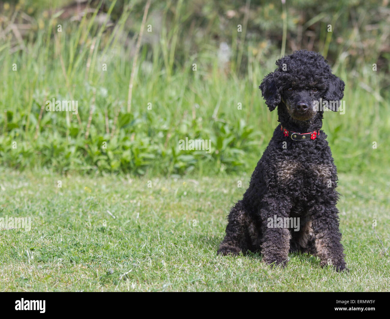 Black and tan poodle with collar sitting on lawn, looking into the camera. - Stock Image