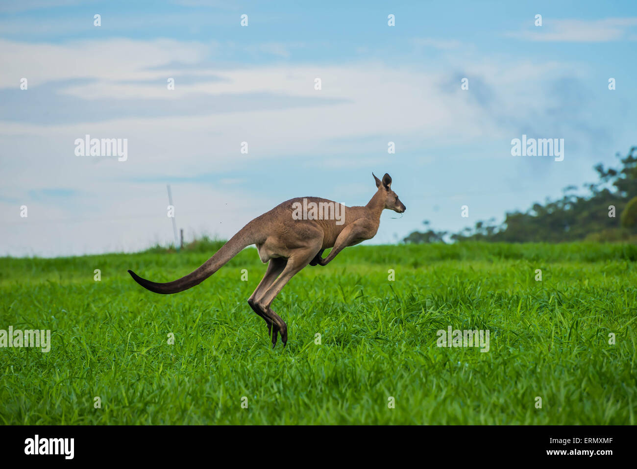 Easter Grey Kangaroo hopping - Stock Image