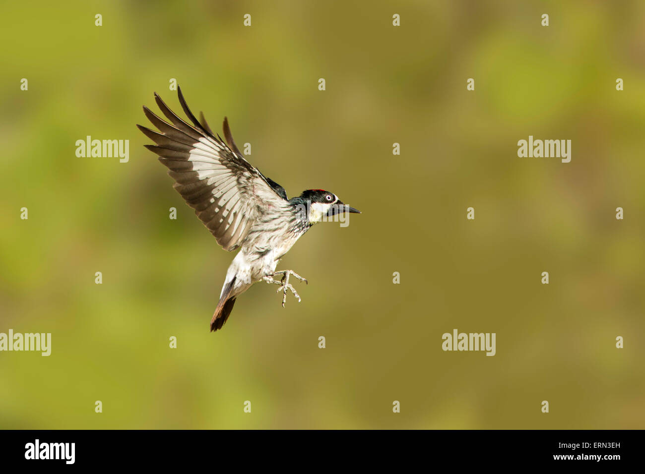 Acorn Woodpecker Melanerpes formicivorus Santa Rita Mountains, Santa Cruz County, Arizona, United States 23 May - Stock Image