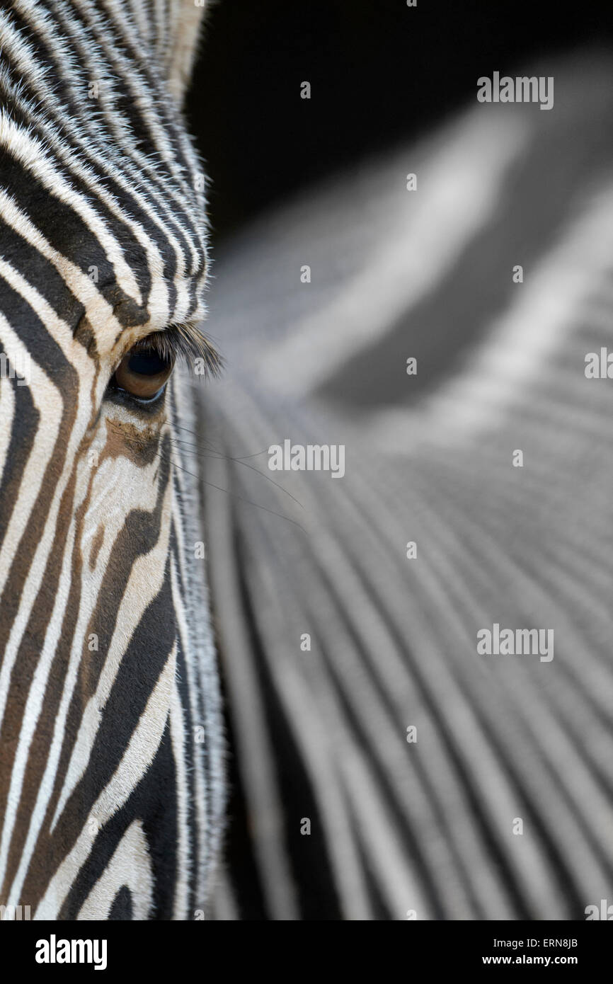 Grevy's Zebra (Equus grevyi) portrait, abstract close up, Cabarceno Natural Park, Cantabria, Spain. Stock Photo