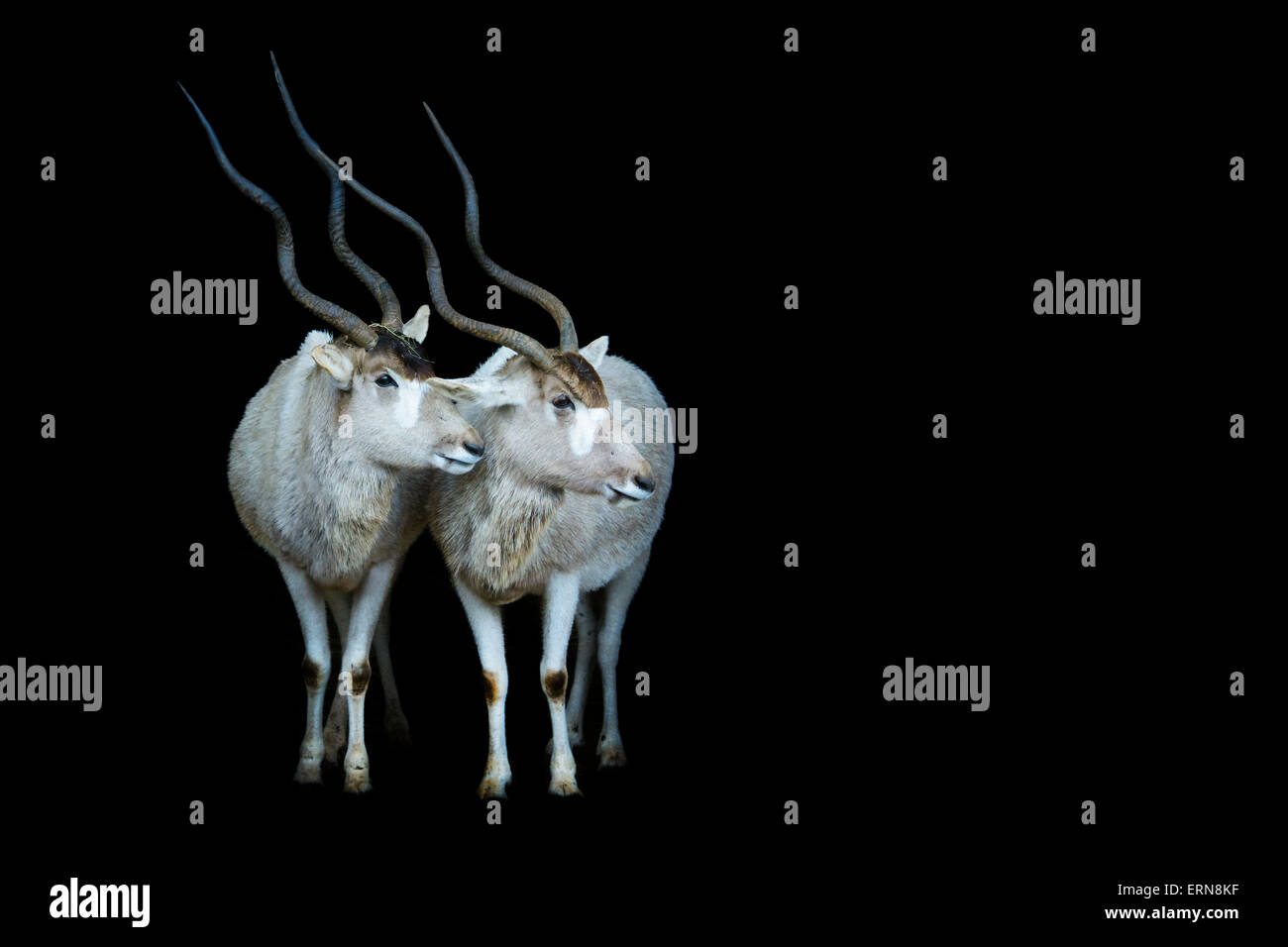 Two Addax (Addax nasomaculatus) standing in the dark in the stable entrance, Cabarceno Natural Park, Cantabria, - Stock Image