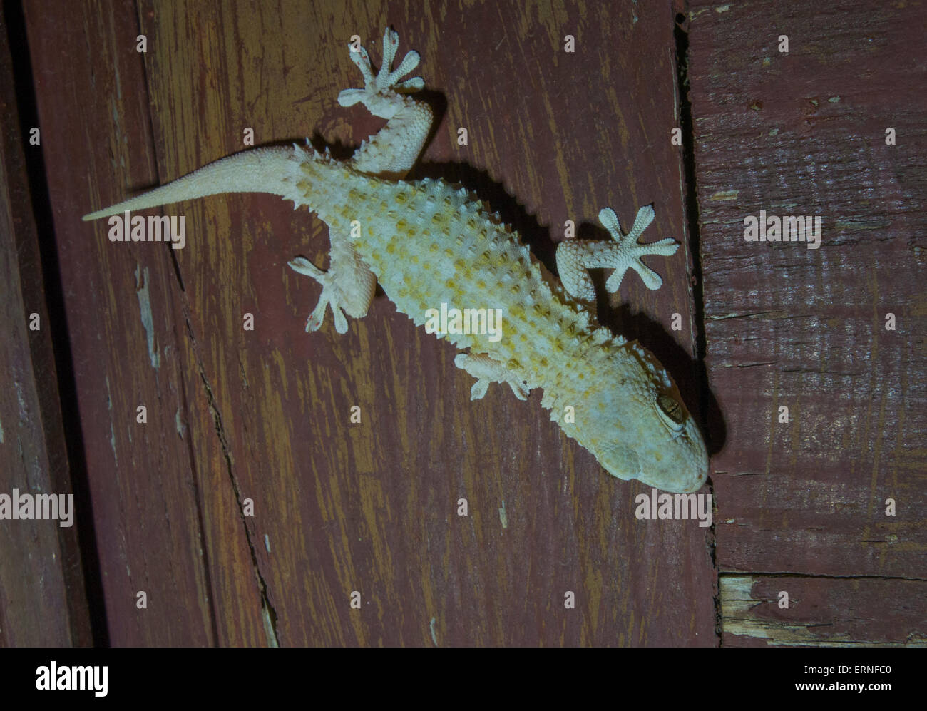 Close Up Mediterranean House Gecko Hemidactylus Turcicus From