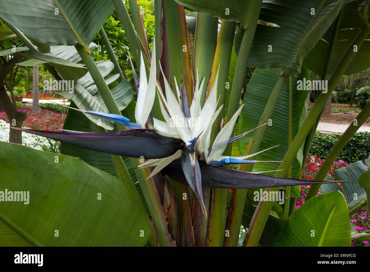White bird of paradise stock photos white bird of paradise stock close up of a giant white bird of paradise flower strelitzia nicolai taken in mightylinksfo