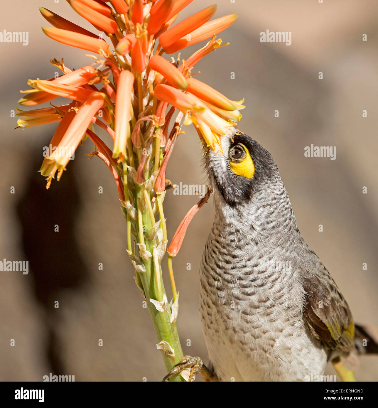 Noisy miner bird, Manorina melanocephala, feeding on orange flowers of aloe, drought tolerant succulent plant, in Stock Photo