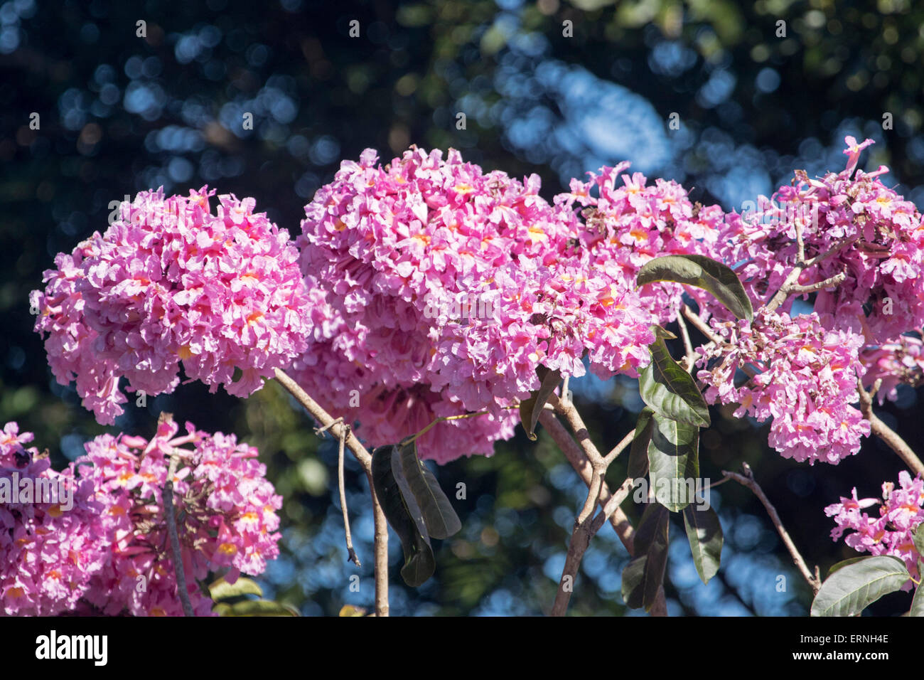 Large clusters of bright pink flowers of tabebuia impetiginosa pink large clusters of bright pink flowers of tabebuia impetiginosa pink trumpet tree against light dark background in australia mightylinksfo