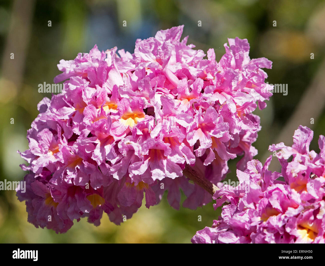 Large cluster of bright pink flowers of tabebuia impetiginosa pink large cluster of bright pink flowers of tabebuia impetiginosa pink trumpet tree against light green background in australia mightylinksfo