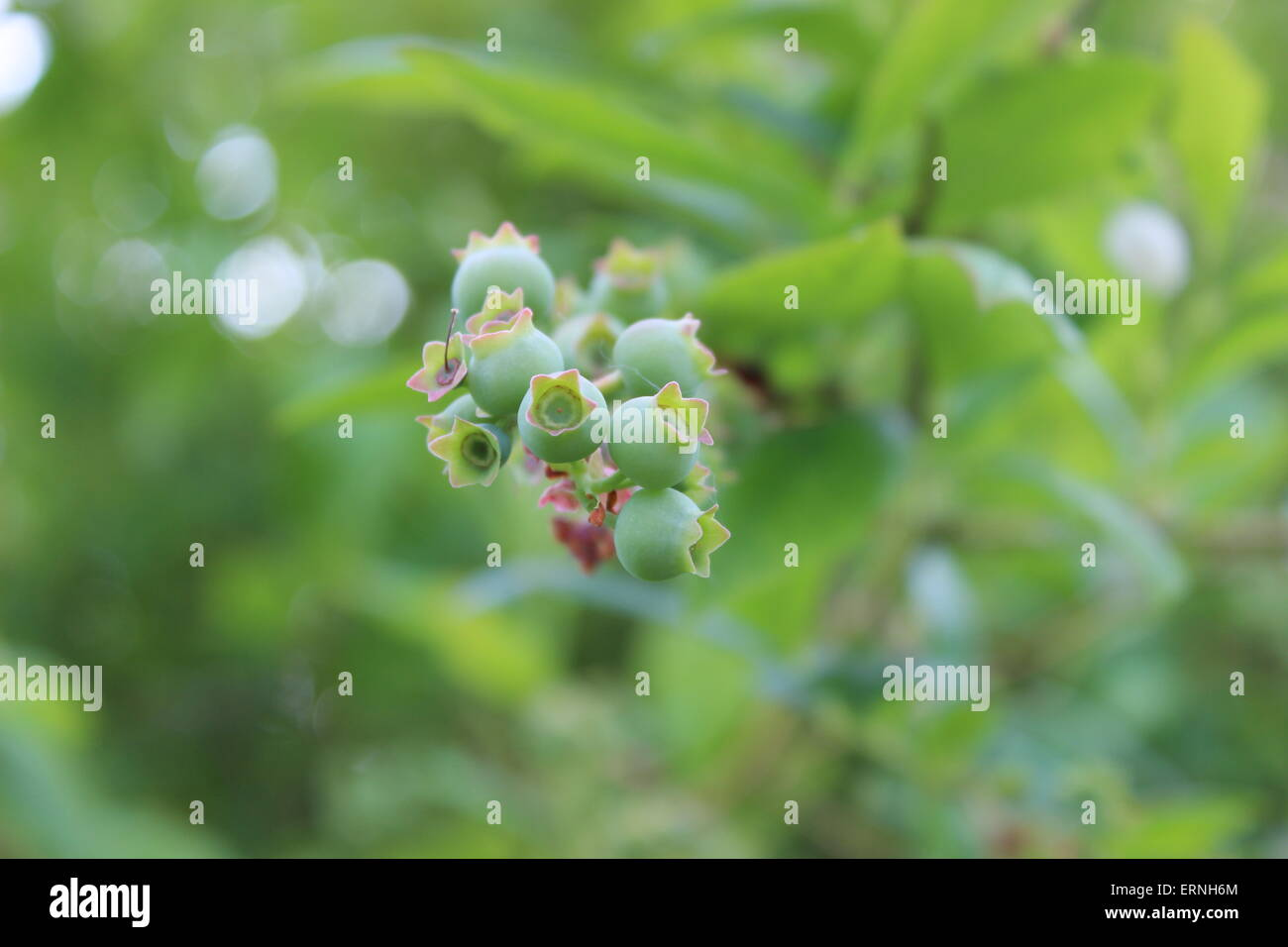 green blueberries - Stock Image