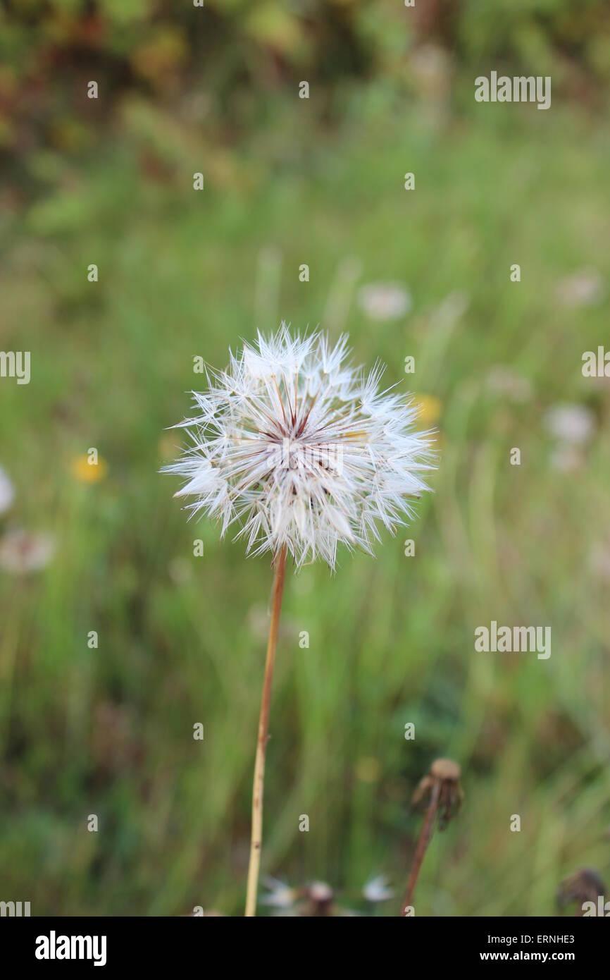 Dandelion seed fluff - Stock Image