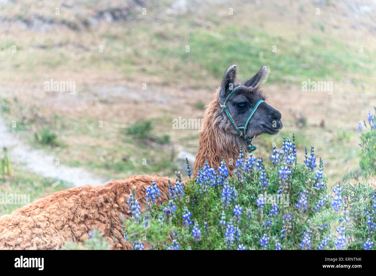 Llama, South American camelid, which live in the high alpine areas of the Andes - Stock Image