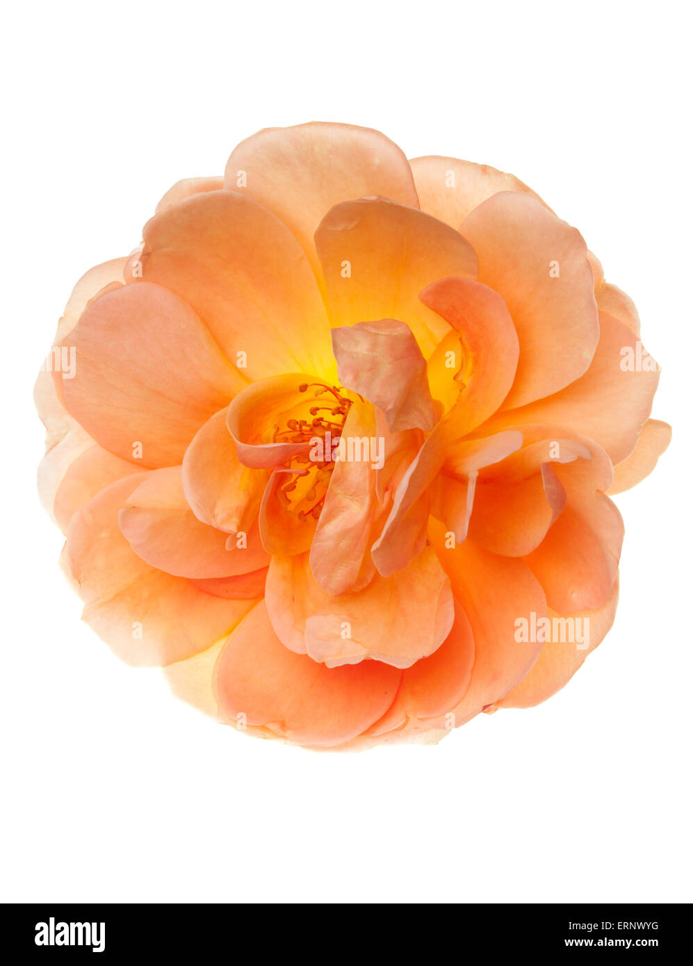 Peach pink garden rose flower isolated floral on a pure white - Stock Image