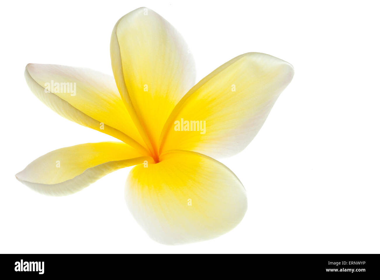 Plumeria Frangipani Flower Yellow And White Tropical Flowers On