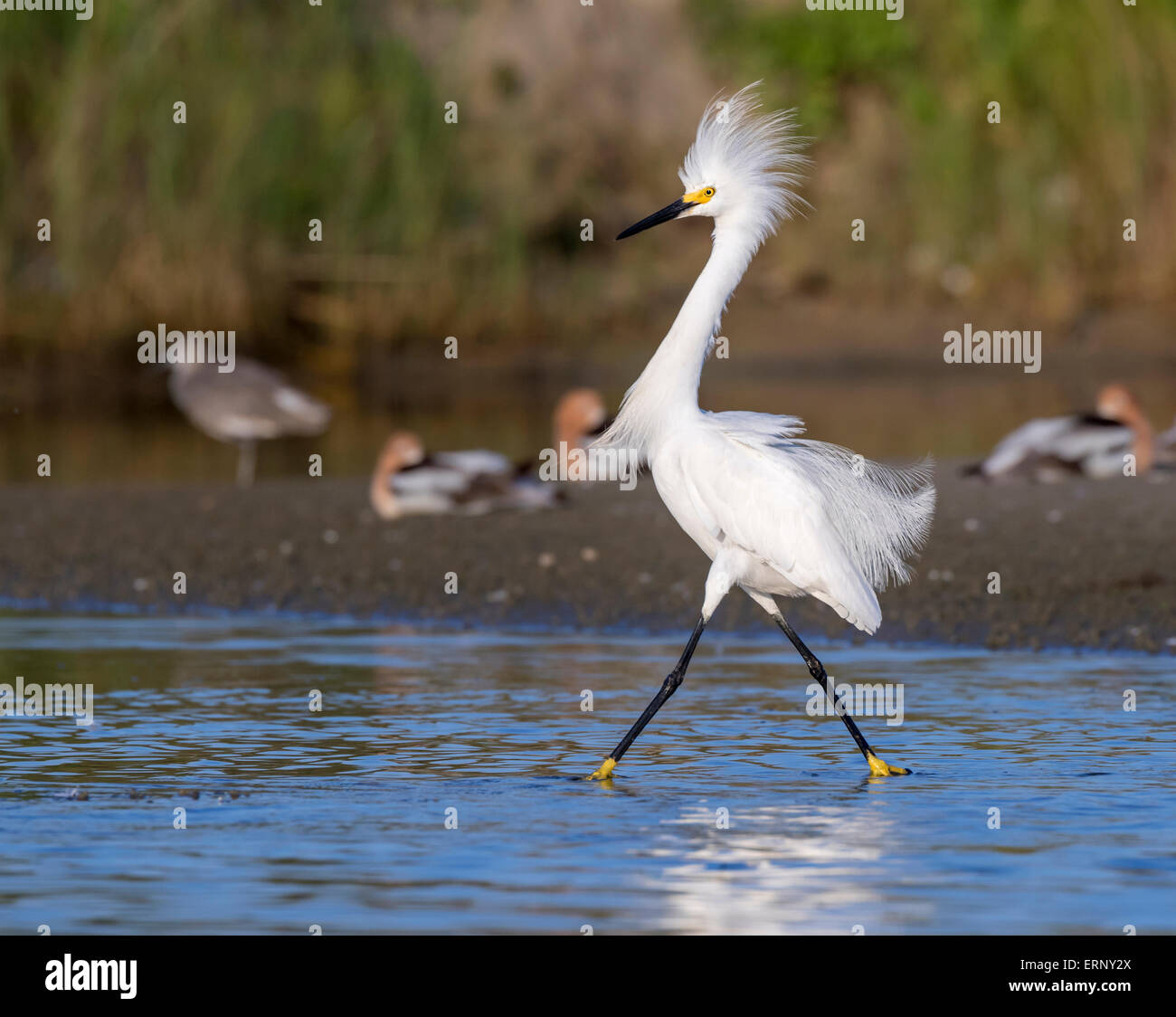 Snowy egret (Egretta thula) in breeding plumage wading in shallow water of tidal marsh, Galveston, Texas, USA. - Stock Image