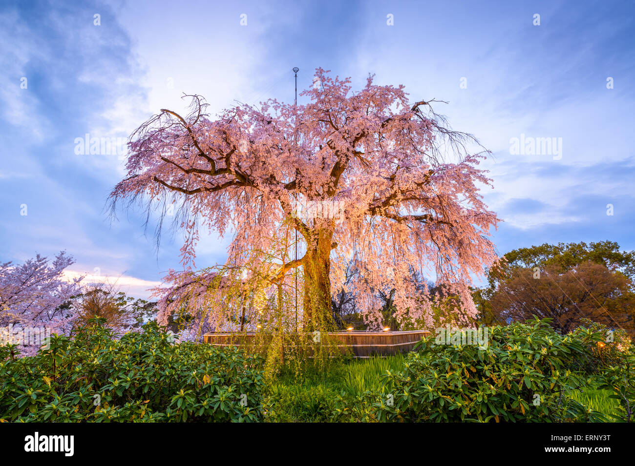 Maruyama Park in Kyoto, Japan during the spring cherry blossom festival. - Stock Image