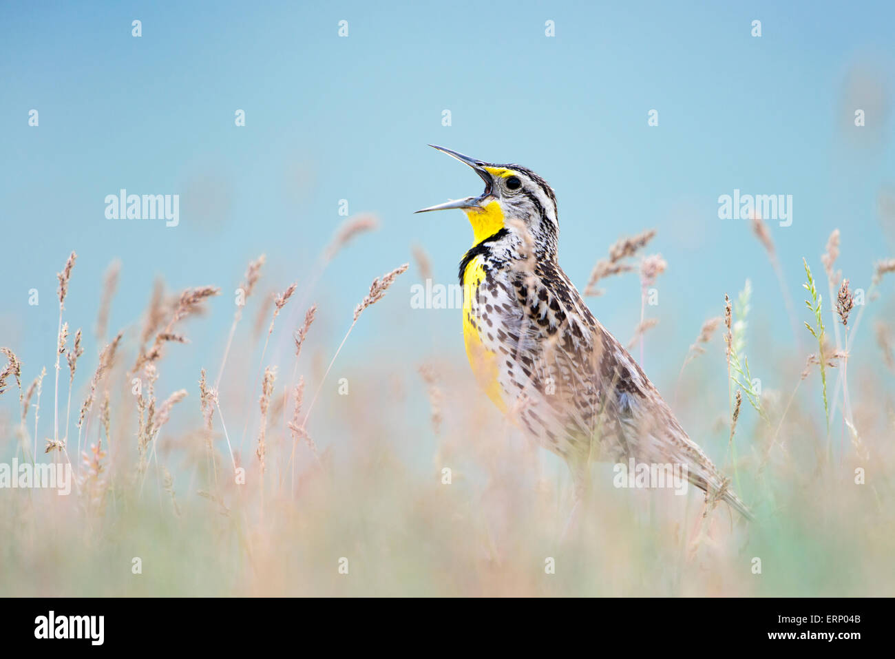 A western meadowlark (Sturnella neglecta) sings to alert rivals and potential mates of his presence, Western Montana Stock Photo