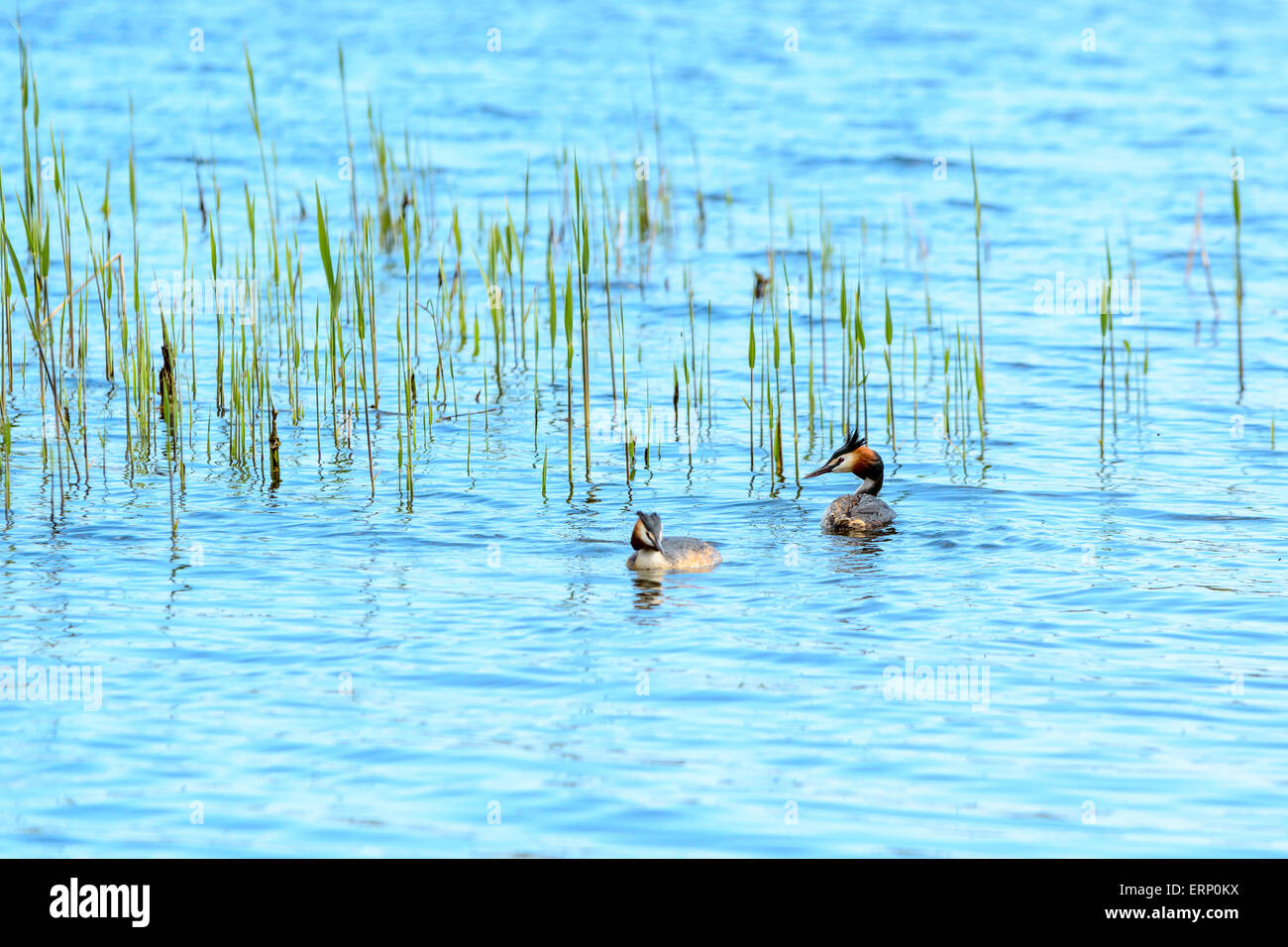 One pair of great crested grebe (Podiceps cristatus) swimming in water with reed in background. Focus on male with - Stock Image
