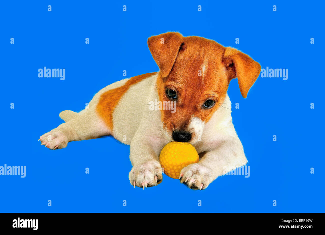 puppy with a ball lies against a blue background this picture is