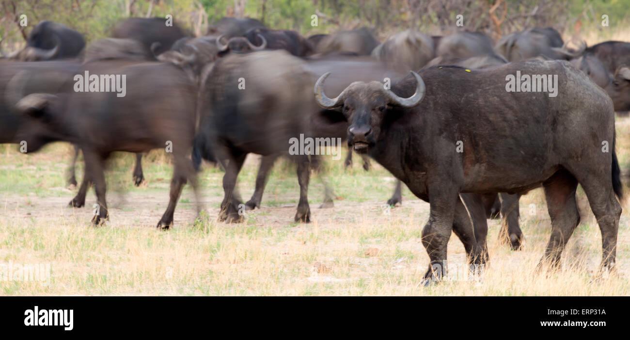 African buffalo or Cape buffalo (Syncerus caffer) Hwange National Park Zimbabwe Africa Stock Photo