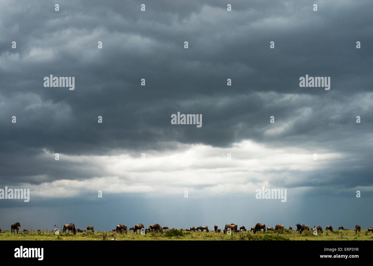 Blue wildebeests (Connochaetes taurinus) migration Olare Orok Conservancy Kenya Africa - Stock Image