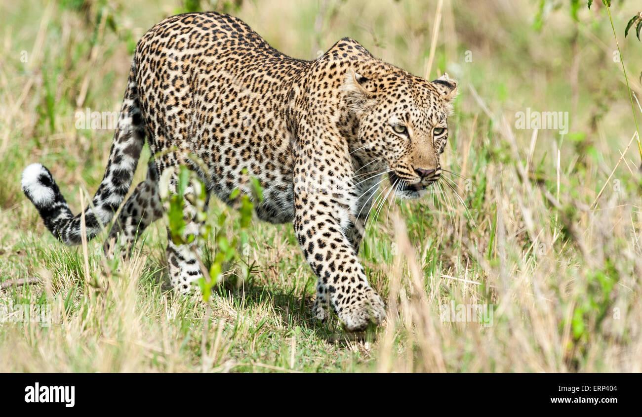 Adult female leopard (Panthera pardus) walking Maasai Mara National Reserve Kenya Africa Stock Photo