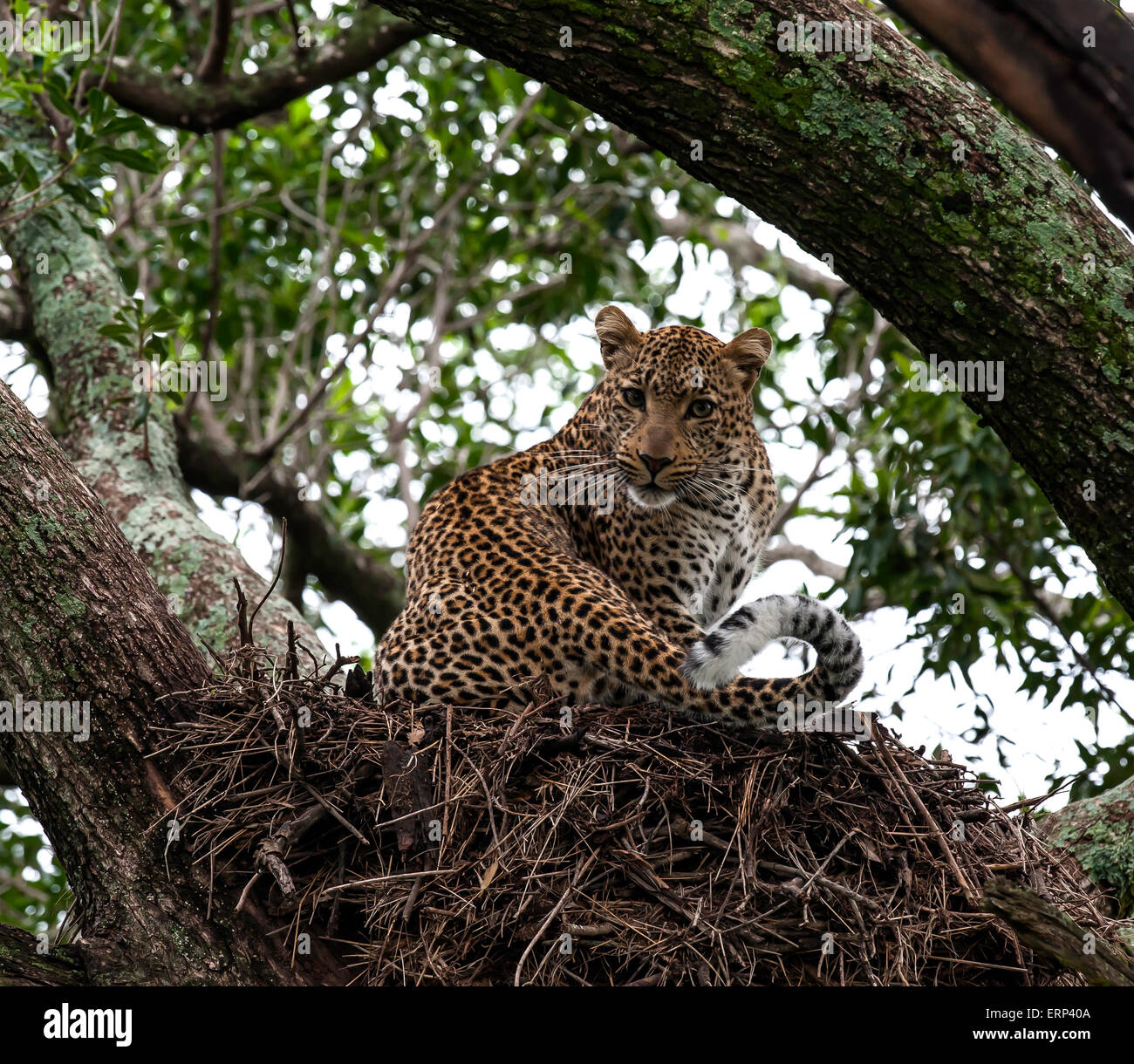 Adult female leopard (Panthera pardus) on hamerkop nest Olare Orok conservancy Kenya Africa Stock Photo