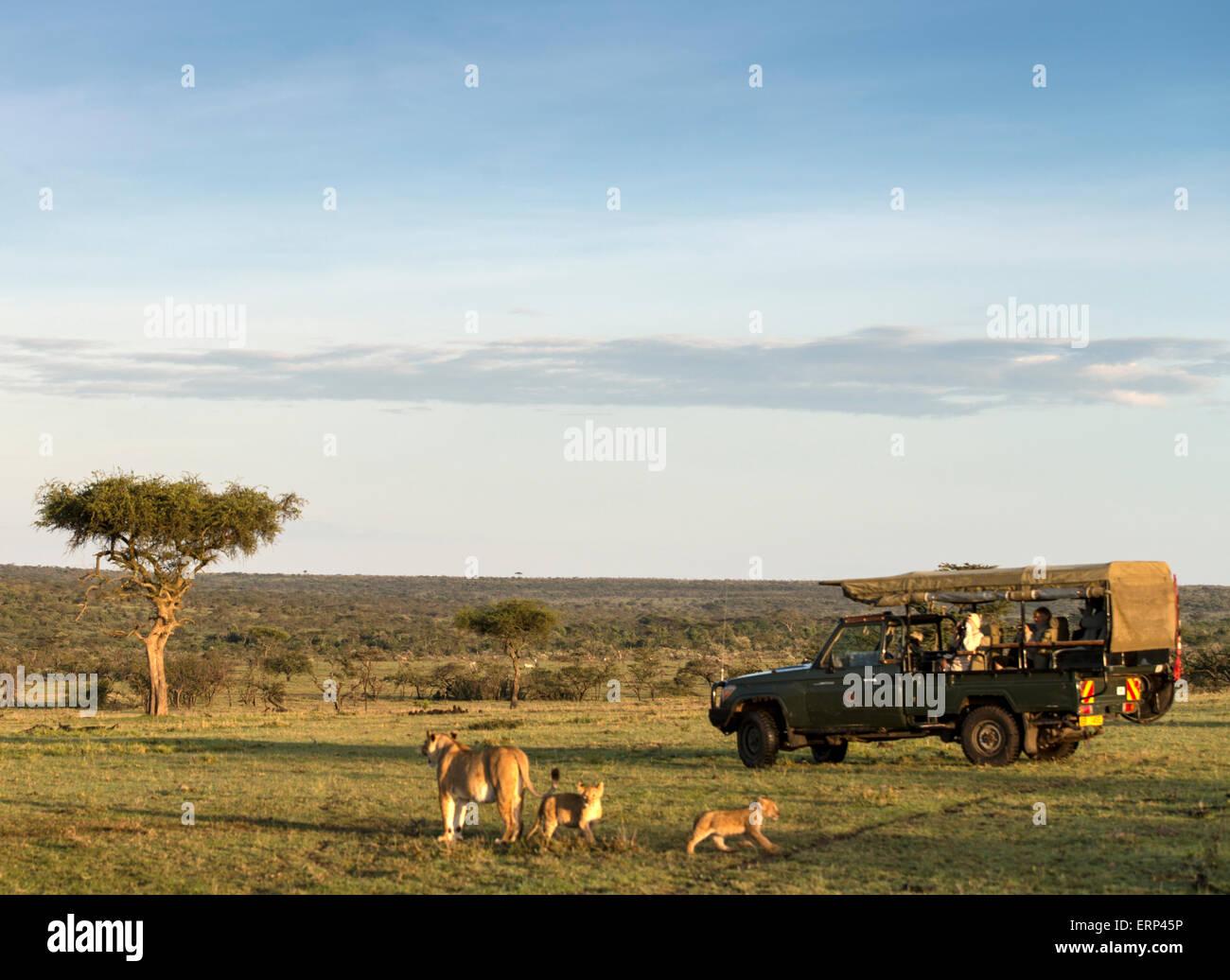 Adult female lion (Panthera leo) with cubs and safari car Mara Naboisho conservancy Kenya Africa - Stock Image