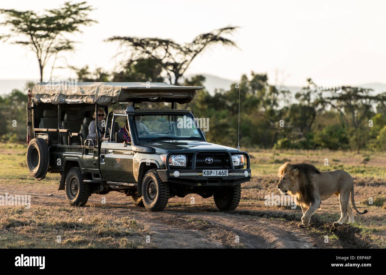 Adult male lion (Panthera leo) and safari car Mara Naboisho conservancy Kenya Africa - Stock Image