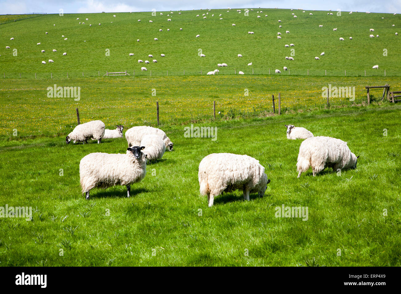 Sheep grazing in chalk downland fields, Wiltshire, England, UK - Stock Image