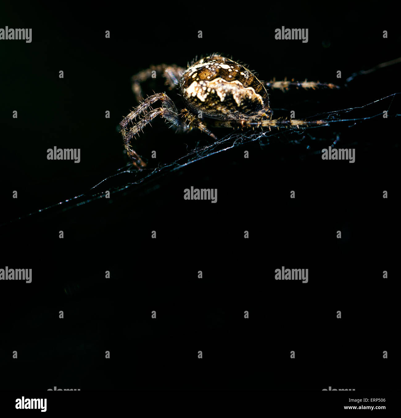 A garden spider on its web lit by a flash gun. - Stock Image