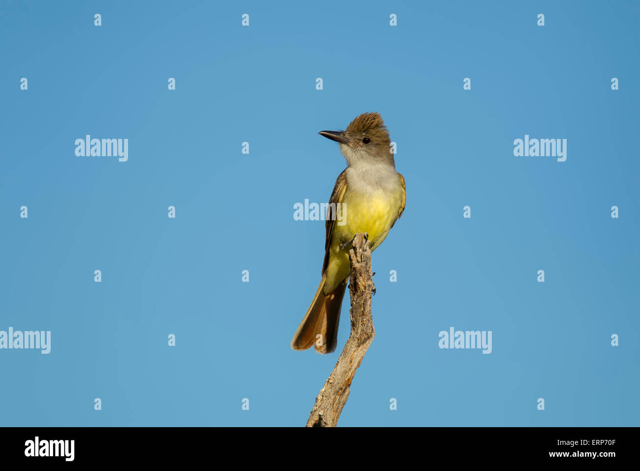 Brown-crested Flycatcher Myiarchus tyrannulus Tucson, Pima County, Arizona, United States 4 June       Adult    - Stock Image