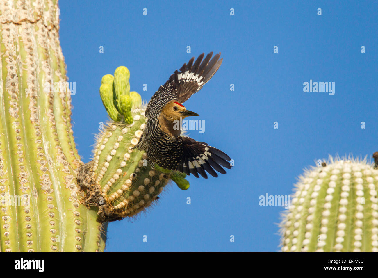 Gila Woodpecker  Melanerpes uropygialis  Tucson, Arizona, United States 4 June     Adult Male taking off from Saguaro - Stock Image
