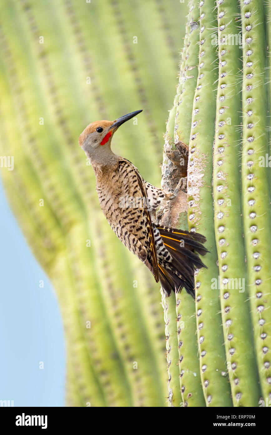 Gilded Flicker Colaptes auratus Tucson, Pima Co., Arizona, United States 4 June     Adult Male at nest hole in Saguaro - Stock Image