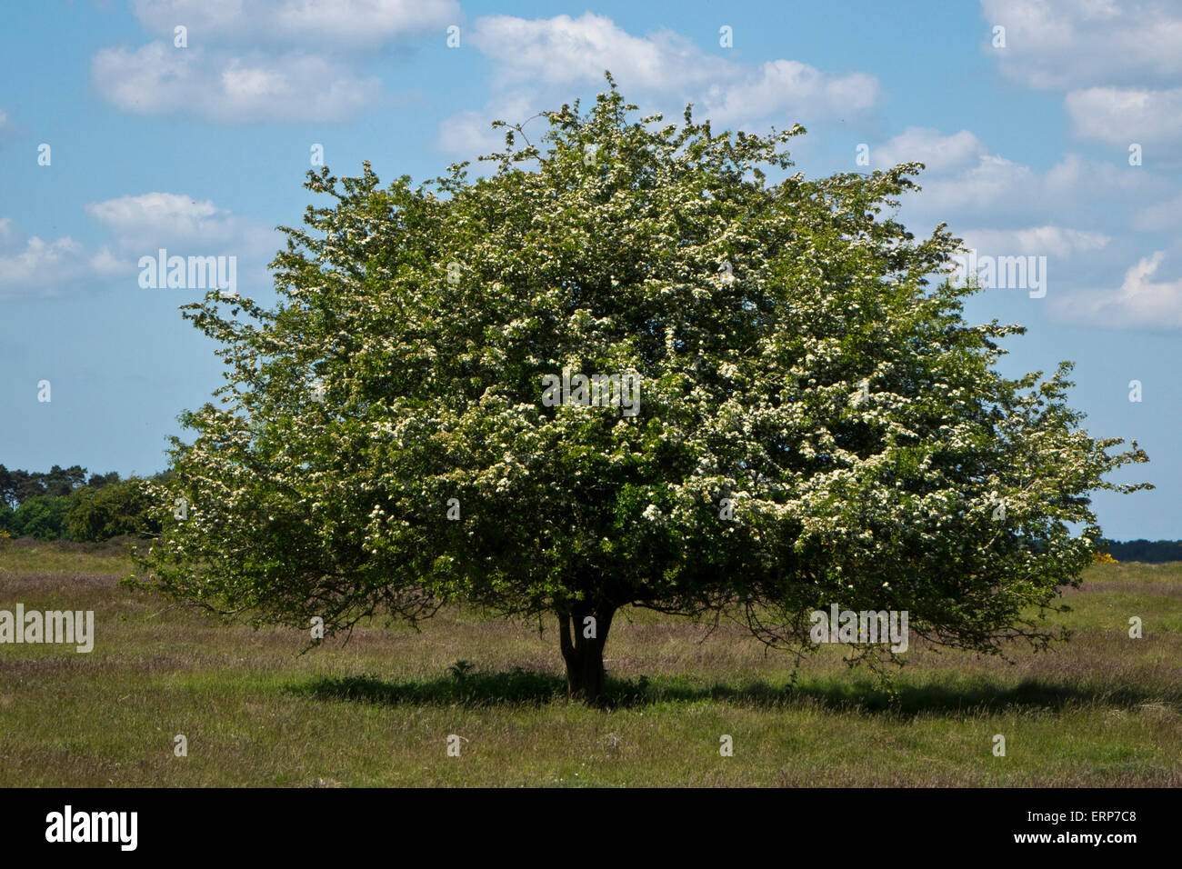Hawthorn tree - Stock Image