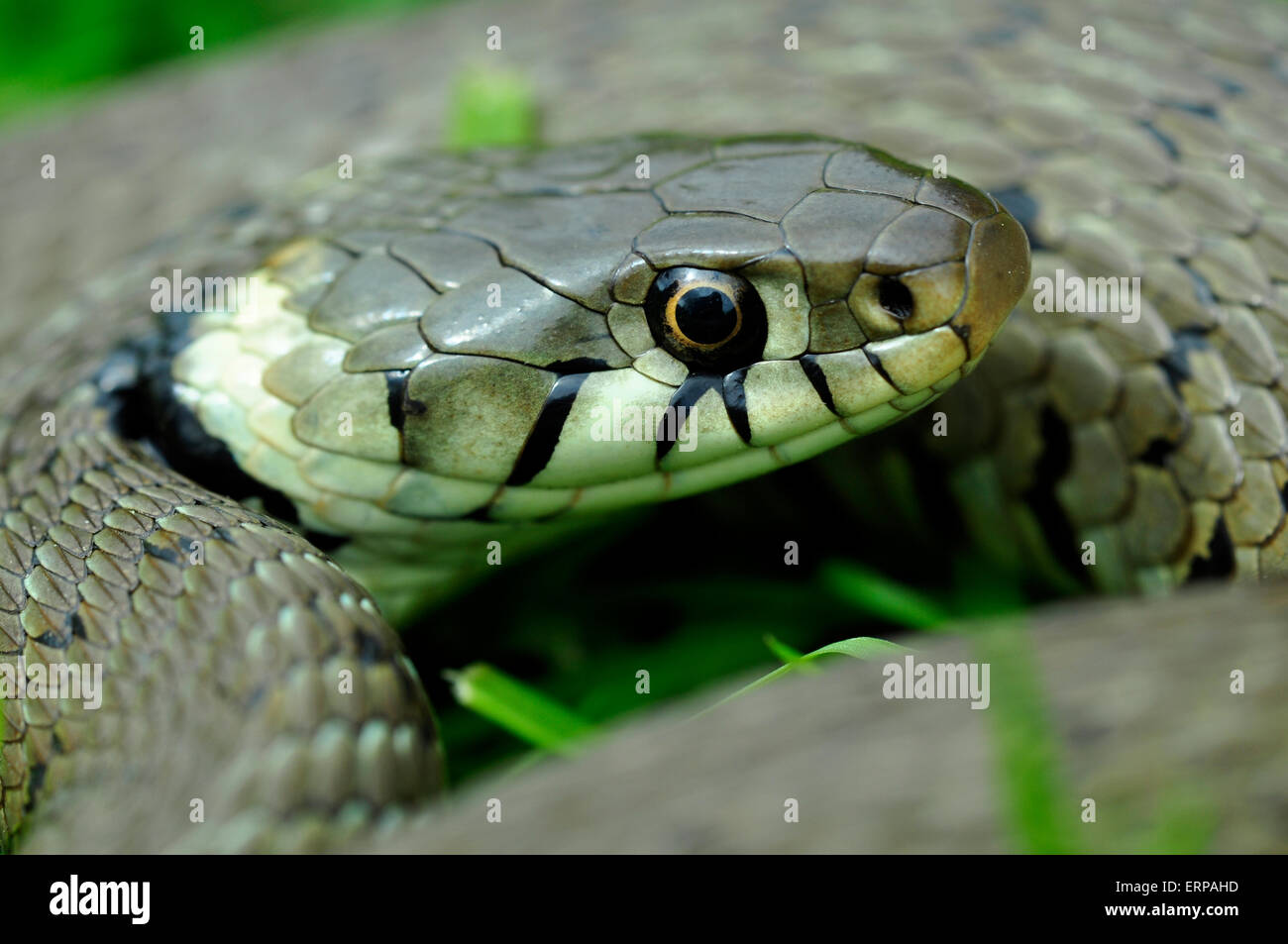 The face of a grass snake UK - Stock Image