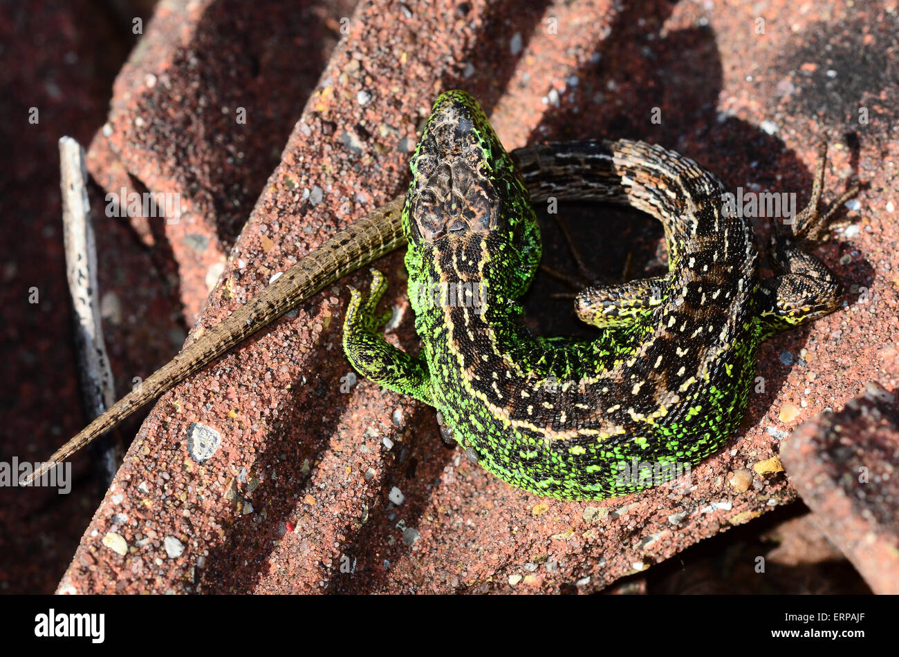 A male sand lizard curled around itself Dorset UK - Stock Image