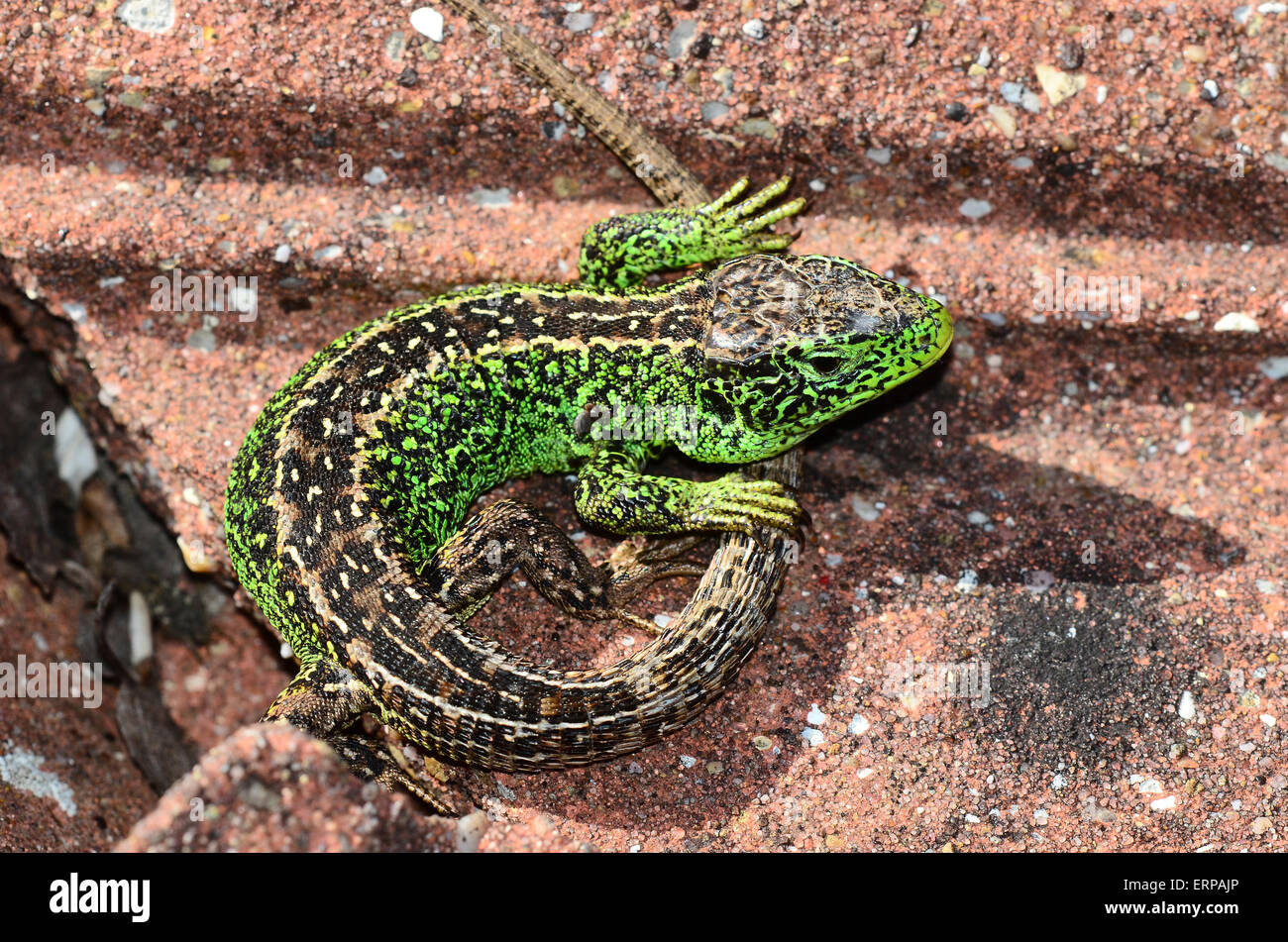 A curvled up sand lizard  Dorset UK - Stock Image