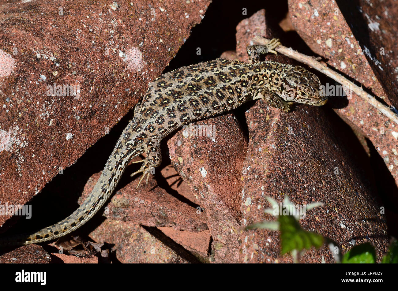 A sand lizard on some broken tiles Dorset UK - Stock Image