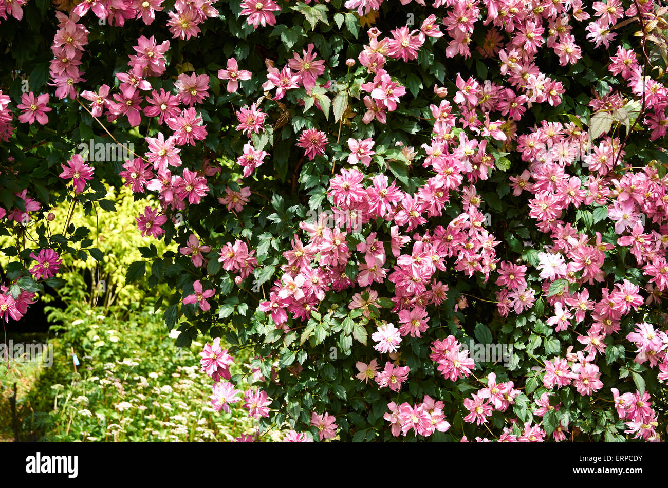 Clematis 'Broughton Star' forms a glorious band of colour over a trellis arch inthe Centenary Border, Harold - Stock Image