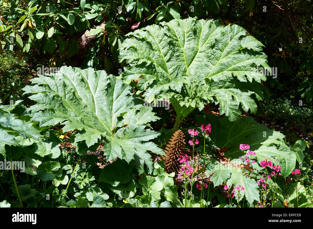 Gunnera Tinctoria  is a slightly tender, large leaved perennial with long spikes of dusty-red flowers. Stock Photo
