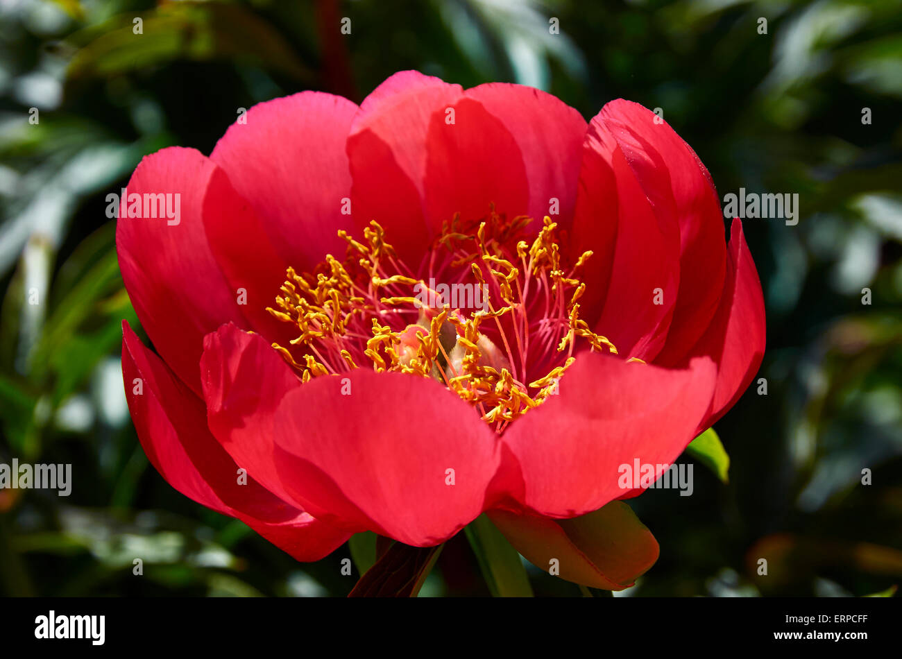 """Peony Paeonia Peregrina """"OttoFroebal"""". A May flowering peony in May with single blooms, cup shaped, in bright scarlet red. Stock Photo"""