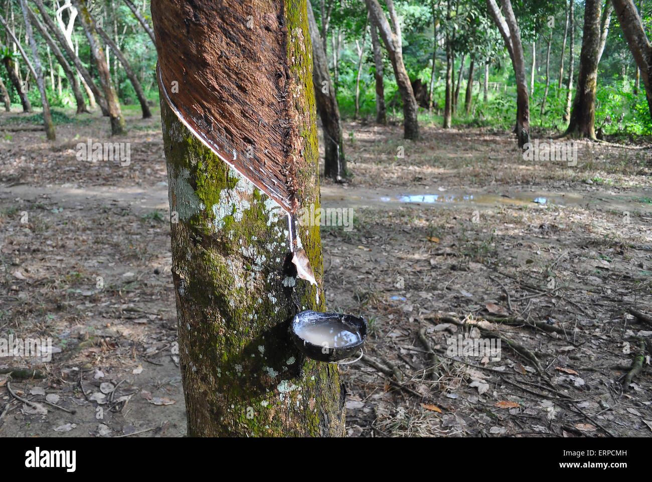 Tapping latex from a rubber tree. Bukit Lawang. Indonesia Stock Photo