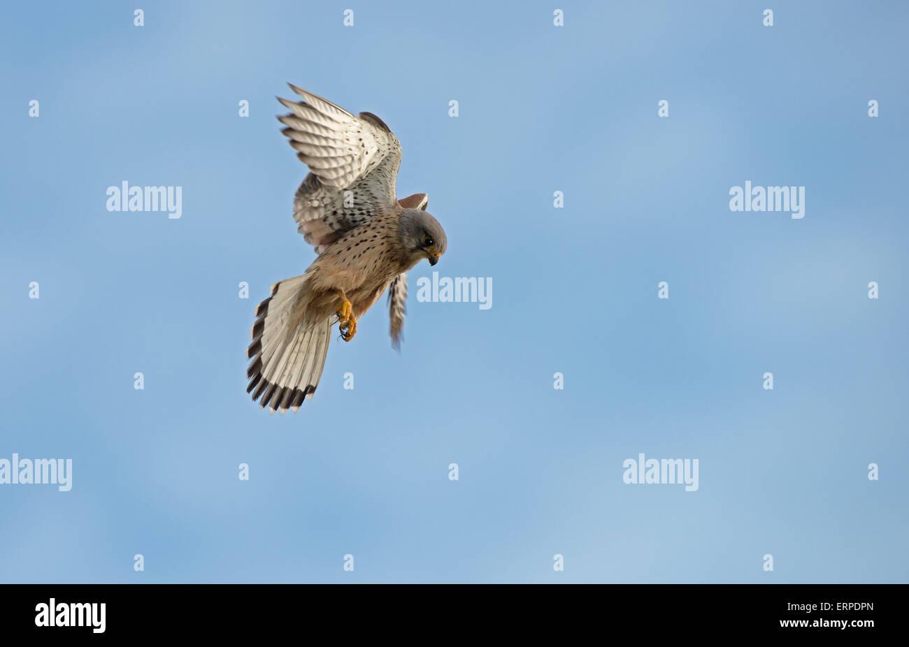 Male Kestrel, Falco-tinnunculus hovers. Spring. Uk - Stock Image